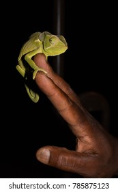 A flap-necked chameleon on a safari guide's hand in Zambia's South Luangwa Valley.