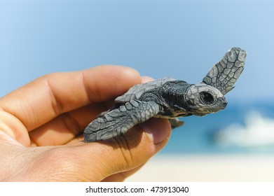 Flapping  Found this olive ridley turtle hatchling on North East Island, an important sea turtle rookery, off Groote Eylandt.