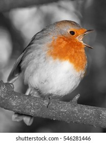 flash of colour on black and white robin