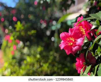 Flashy camellia flower in sunny day behind bokeh background