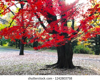 Flashy colorful of Japanese maple in autumn. Take photo by mobile phone