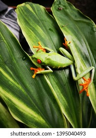 flashy green,orange and yellow tropical frog taking pose on a jungle leaf