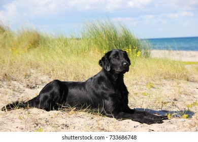 Flat coated retriever dog lies on the beach