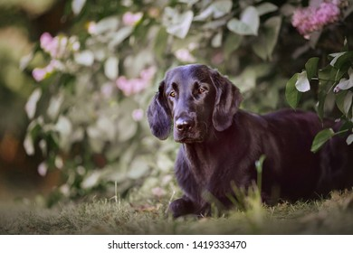 Flat coated retriever laying on the grass in the park and looking