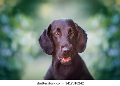 Flat coated retriever sweet and cute portrait in park, green background. Looking, mouth open, tongue showing, ears alert, obedient, green color and flowers in the background, happy dog