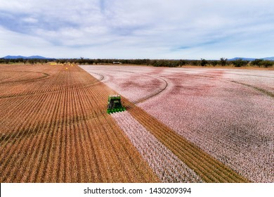Flat cultivated agricultural farm fields of Australia under cotton plants during harvesting season with combine tractor picking white snow cotton boxes.