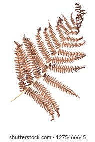 Flat dry golden-brown fern branch isolated on white background