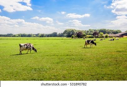 Flache holländische Landschaft mit schwarz-weißem Gefleckten Kühen im Gras weiden. Im Hintergrund ein Teil eines Bauernhofs und einer Scheune. Es ist ein sonniger Tag im Frühling.