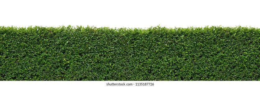 Flat green tree wall hedge (fence) isolated on white background for park or garden decorative, (fukien Tea, philippine Tea, carmona retusa (vahl) masam.)