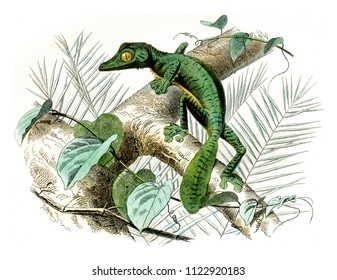 Flat head, vintage engraved illustration. Natural History from Lacepede.
