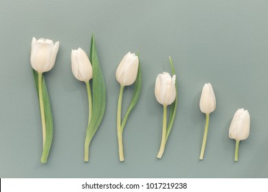 Flat lay of composed tulips with shortening stems and tender blossoms on gray.