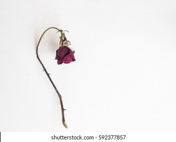 Flat lay of  dried flower rose and withered on white background with copy space.