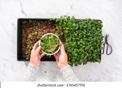 Flat lay. Harvesting radish microgreens from a large plastic tray.