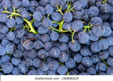 Flat lay, a lots of organic blue grapes, concept wine, crop and juice