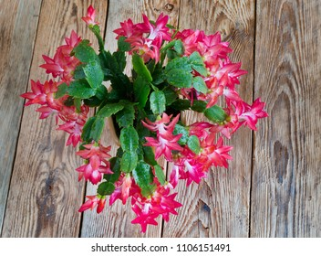 Flat lay photography schlumbergera flower blossoms on a wooden table.