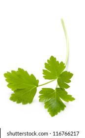 flat leaf parsley close up isolated on white background