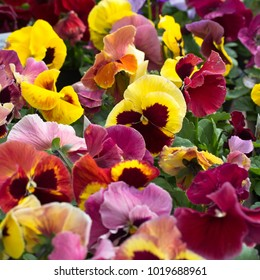 Flat of mixed pansies at a farmers market