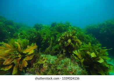Flat rocky reef with areas of dense kelp forest and relatively barren surfaces covered with just scarce short algae.
