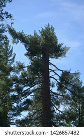 Flat topped Pine in the Sierras
