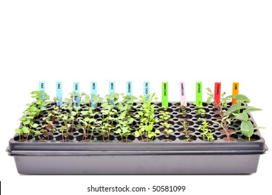 A flat of young seedlings. Isolated with clipping path. 24MP camera.