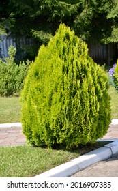 Flatbed east (tuya east), variety Aurea Nana (Platycladus orientalis (L.) Franco)