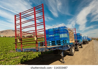 Flatbed trailers with produce boxes parked beside lettuce a field ready for harvest.