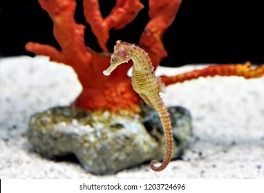 The flat-faced seahorse, longnose seahorse, low-crowned seahorse or three-spot seahorse (Hippocampus trimaculatus) in marine aquarium. It is a species of fish in the family Syngnathidae.