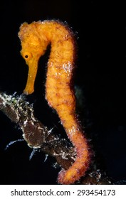 flat-faced seahorse, longnose seahorse,(Hippocampus trimaculatus) is a species of fish in the Syngnathidae family