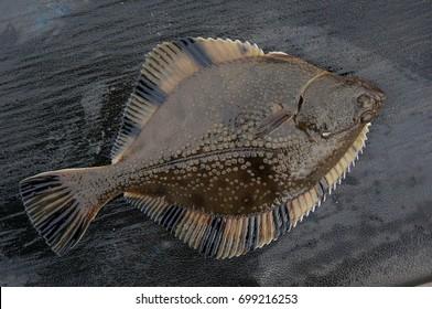 Flatfish flounder, stove