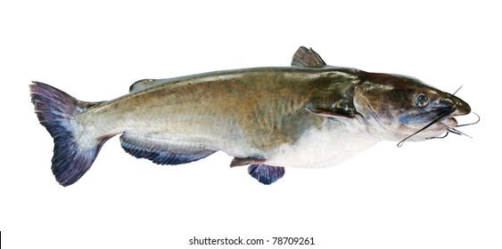 Flathead catfish, isolated on white background