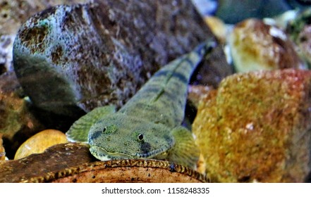 Flathead fish in marine aquarium. Platycephalus indicus is most often found on sandy and muddy bottoms of coastal waters it is frequently seen in estuaries and juveniles have been taken in freshwater.