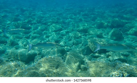 The flathead grey mullet (Mugil cephalus)