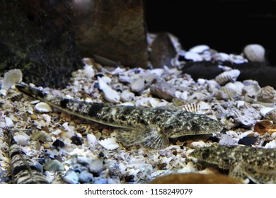 Flathead in marine aquarium. Platycephalus indicus is most often found on sandy and muddy bottoms of coastal waters it is frequently seen in estuaries and juveniles have been taken in freshwater.