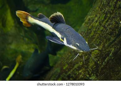 Flat-headed catfish (Phractocephalus hemioliopterus) in Chiang Mai aquarium