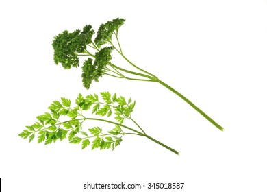 Flat-leaved and curly Parsley (Petroselinum crispum) - leaves isolated against white background