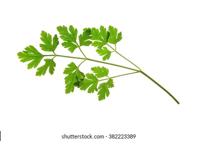 Flat-leaved Parsley (Petroselinum crispum) - single leaf isolated against white background