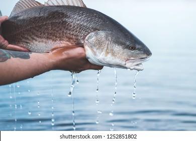 Flats Fishing- Redfish