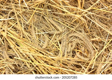 Flattened wheat ears laying on the field / Curly Wheat
