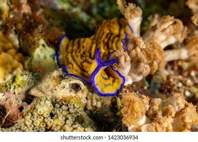 Flatworm, Pseudoceros gravieri, are a phylum of relatively simple bilaterian, unsegmented, soft-bodied invertebrates