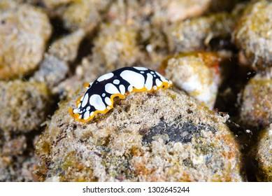 Flatworm Pseudoceros scintillatus