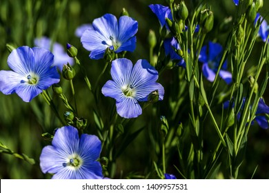 Flax blossoms. Green flax field in summer. Sunny day. Agriculture, flax cultivation. Selective focus. Field of many flowering plants (linum usitatissimum). Linum blooms