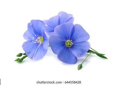 Flax blue flowers closeup on white backgrounds.