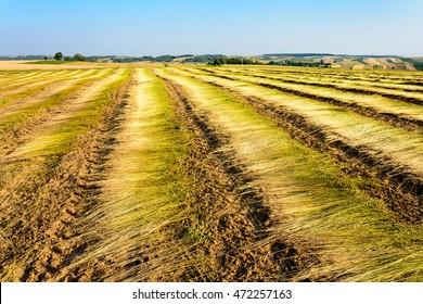 Flax field after harvest in Roztocze region, Poland