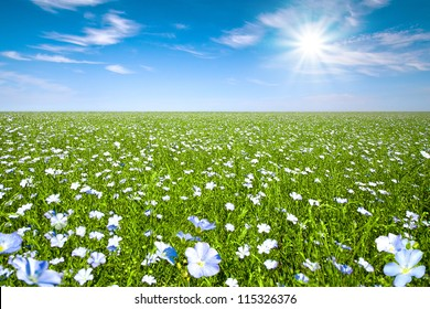 Flax field with blue sky
