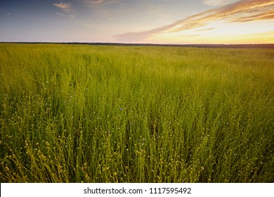 Flax fields during the harvest of August in summer, at sunset. The plant ripening growing and almost ready for harvesting. Rural farming