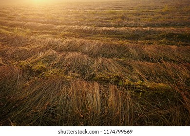 Flax fields during the harvest of August in summer. The plant ripening growing and almost ready for harvesting. Rural farming