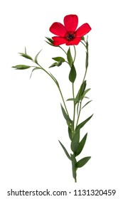 Flax flower of red color isolated on white background