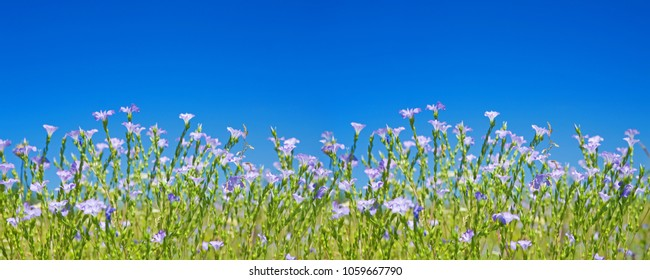 Flax flowers blossoming against the clear blue sky background. Panoramic view of Linum Usitatissimum flowers.
