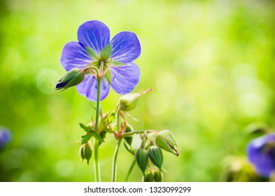 Flax flowers close up on the field. Shallow depth of field