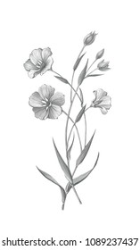 Flax Flowers Pencil Drawing Isolated on White with Clipping Path
